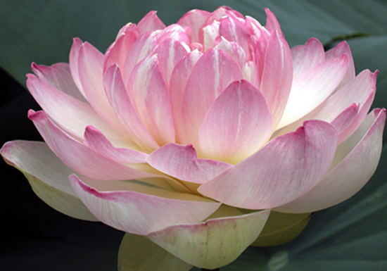 comprehensive yoga fellowship  teacher training  lotus flowers, Natural flower